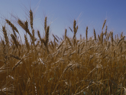 section of mature wheat in field
